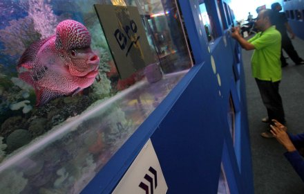 Pengunjung mengamati ikan louhan yang dipamerkan.(man)