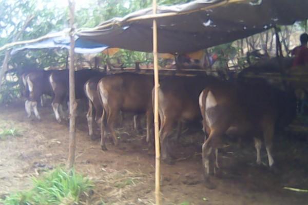 Penjual hewan kurban di Serpong Utara. (fit)
