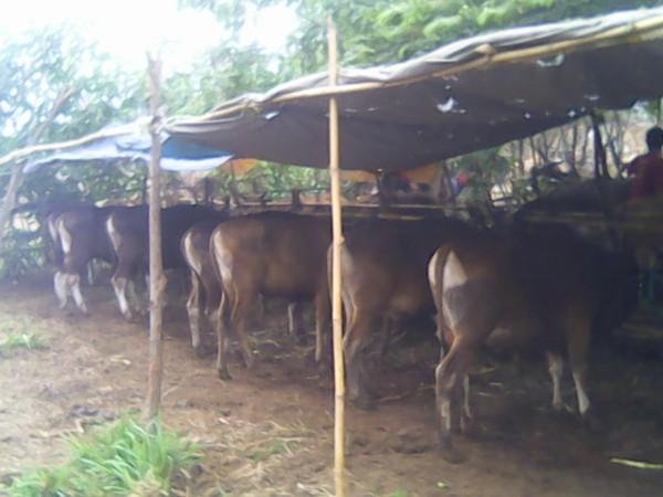 Jejeran sapi kurban di Pakulonan. (fit)