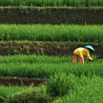 Kemarau Panjang tak Pengaruhi Sektor Pertanian di Cilegon