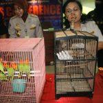25 Burung Lover Bird Diselundupkan Dalam Celana
