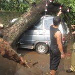 Pohon Tua Tumbang Timpa Kijang di Pondok Aren
