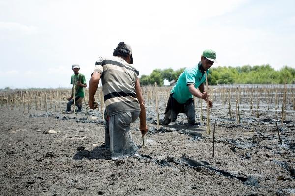 PT IKPP tanam mangrove di pesisir pantai Serang. (ist)