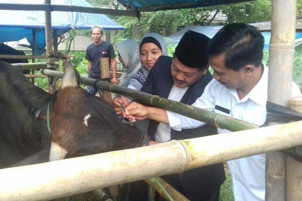 Kepala DPKP Kota Tangsel, memeriksa hewan kurban. (nad)